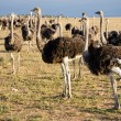Ostriches in South Africa - Stock Photo