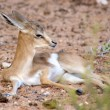 Baby Springbok - Stock Photo