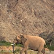 Elephants in the Skeleton Coast Desert - Stock Photo