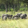 Group of elephants in the bush - Stock Photo