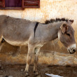 Donkey in mopti - Stock Photo