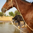 Horses in Mali — Stock Photo #5114083