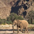 Elephants in the Skeleton Coast Desert — 图库照片