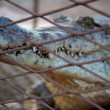 Crocodile in cage — Stock Photo #5119924