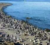 Magellan penguin — Stock Photo