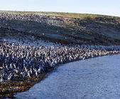 Magellan penguins — Foto Stock
