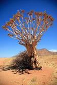 Quiver Tree — Stock Photo