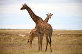Giraffes in Etosha — Stock Photo