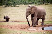 слон в парк аддо — Стоковое фото