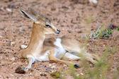 Baby Springbok — Stock Photo