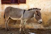 Donkey in mopti — Stock Photo