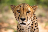 Cheetah in Harnas — Stockfoto
