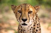 Cheetah in spannen — Stockfoto