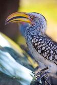 トゥカン、アフリカの鳥 — ストック写真