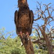 Stock Photo: Martial Eagle
