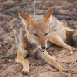 Black Backed Jackal - Stock Photo