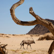 Gemsbok and the dead branch — Foto de Stock