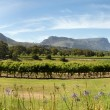 Wine estate in Cape Town - Stok fotoğraf