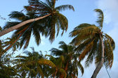 Coconut tree and sunset in the Maldives — Stock Photo