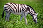 Zebra in Etosha — Stock Photo