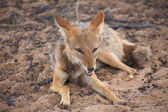 Black Backed Jackal — Stock Photo