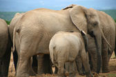 Elephants in Addo Park — Stock Photo