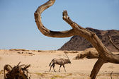 Gemsbok and the dead branch — Stock Photo