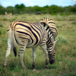 Stock Photo: Grazing Zebrin etosha