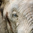 Closeup elephant — Stock Photo