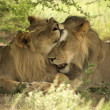 Lions kissing each other - Stock Photo