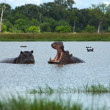 Hippos Rearing — Stock Photo