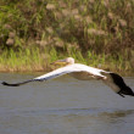 Pelican flying — Stock Photo