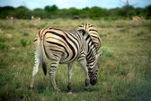 Zebra pastando em etosha — Foto Stock