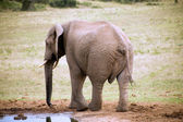 Elephant in Addo Park — Stock Photo