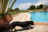 Dog and a swimming pool — Stock Photo