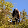 Foto Stock: Tree Climbing Goats