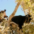 Stockfoto: Tree Climbing Goats