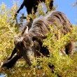 Stock Photo: Tree Climbing Goats