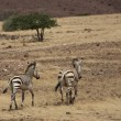 Two Zebras walking — Foto Stock