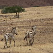Two Zebras walking — Stockfoto