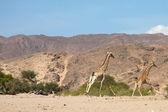 çalışan zürafa — Stok fotoğraf