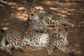 Cheetah in Harnas — Stock Photo