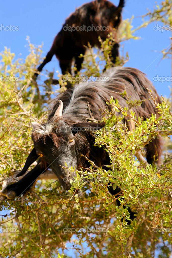Goat feeding high in the branches of a tree in Morocco — Stock Photo #5255466