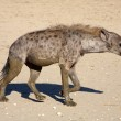 The spotted Hyaena — Stock Photo
