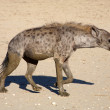 The spotted Hyaena - Stock Photo