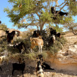 Tree Climbing Goats - Stockfoto