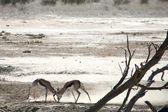 Springboks luchando — Foto de Stock