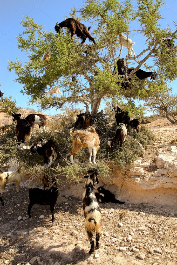 Goat feeding high in the branches of a tree in Morocco — Stock fotografie #5269080