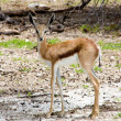 Baby Springbok at Ethosa National Park — Stock Photo