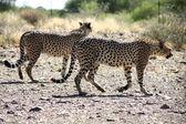 Cheetahs — Stock Photo